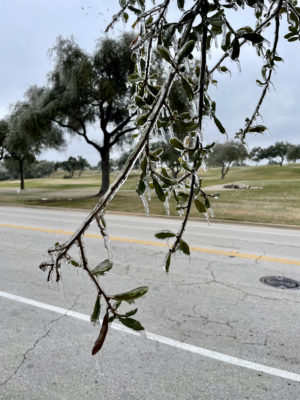 A iced over branch of a live oak with a road in the background.
