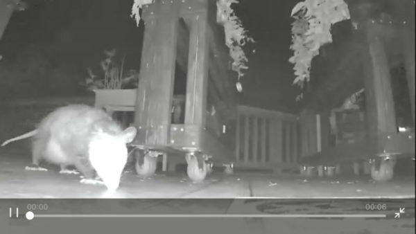 A black and white night-vision image of of opossum on our back deck.